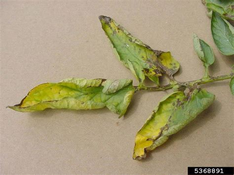 bacterial canker and wilt of tomato (Clavibacter