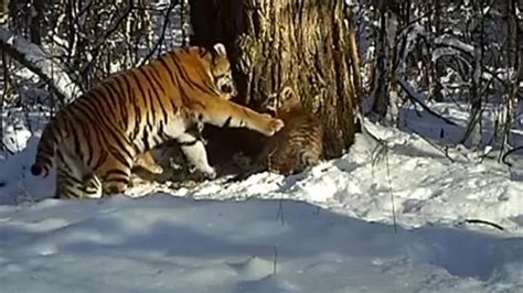 Watch: Tiger Mom Shows Cubs the Ropes in Rare Video