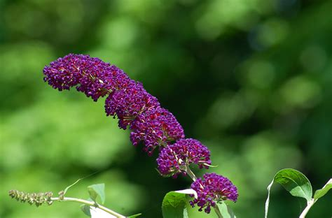 What to Love and Hate About Butterfly Bushes