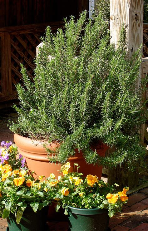 Growing Rosemary - Bonnie Plants